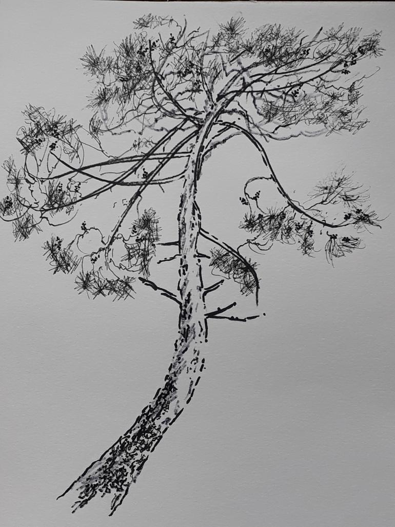 Portugal Pine sketch