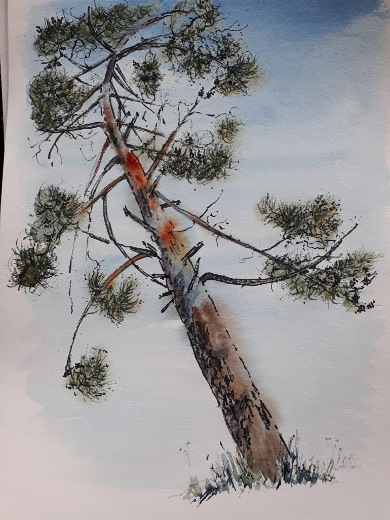 Portugal Pine